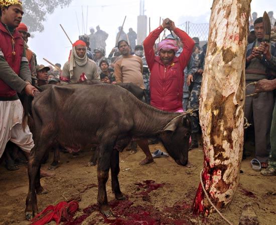 Il massacro di bufali in Nepal