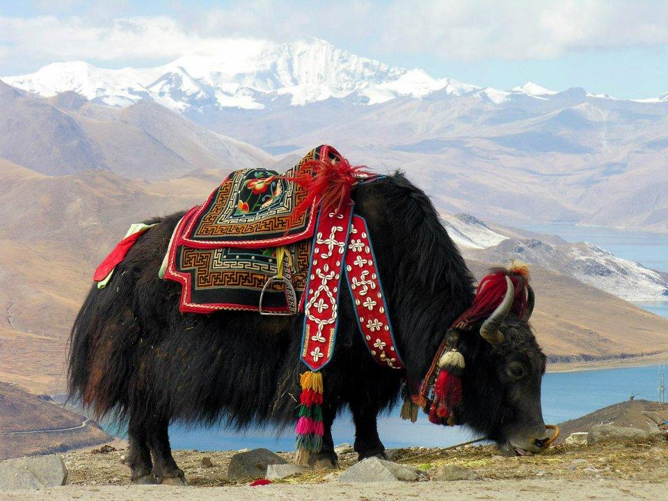 Lo yak rappresenta uno dei simboli del Tibet.