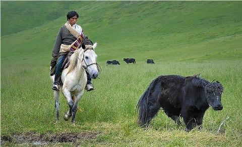 I nomadi pastori e i contadini sono costretti ad abbandonare pascoli e terreni curati da millenni. I villaggi più antichi vengono abbattuti per fare posto a stazioni turistiche prodotte in serie. Centinaia di monasteri cadono in rovina e i religiosi sono concentrati altrove, in scuole di rieducazione ideologica.