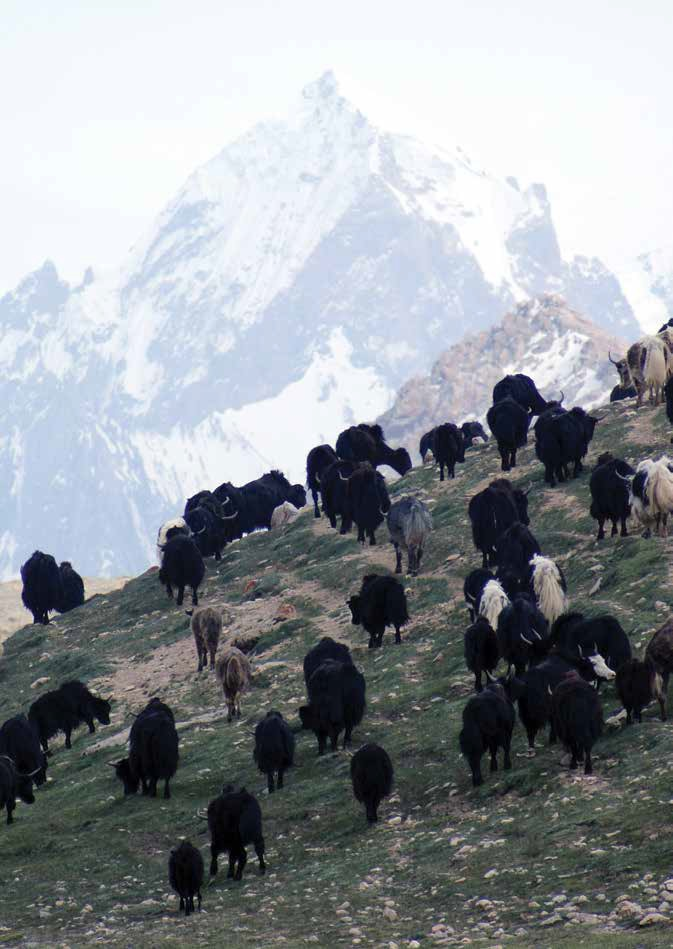 The yak has adapted to living in the most difficult terrain [image by ICIMOD]